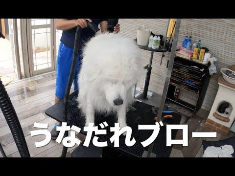 大型犬のドライヤー事情 グレートピレニーズ