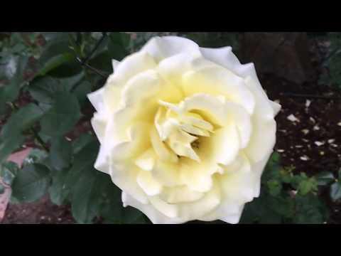 Вопрос: Центифольная роза, какие ещё имеет названия?