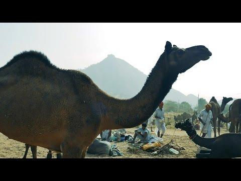 Lots of Camels everywhere at Pushkar Camel Fair, Rajasthan, India.पुष्कर ऊंट मेला