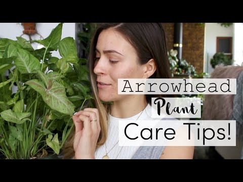 Arrowhead Plant Care Tips & Tricks! | Syngonium Vine Houseplant Care
