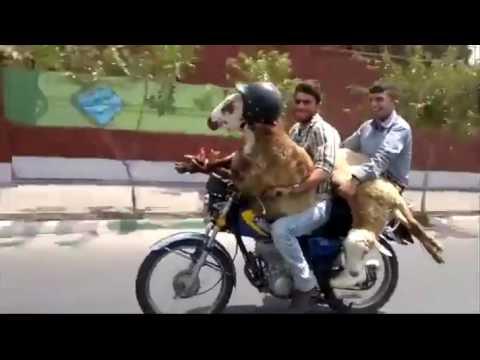 مضحك جدا خروف العيد عيد الاضحى قبل التضحيه Youtube