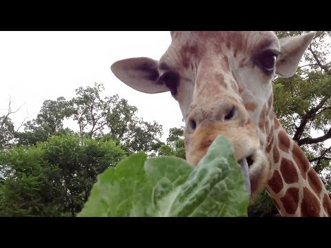 Feeding giraffes at Elmwood Park Zoo