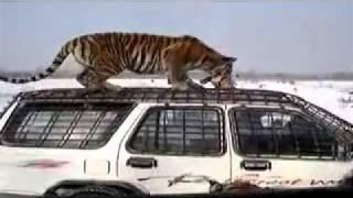 Кормление уссурийских тигров    ВЫ ОЧЕВИДЕЦ.mp4
