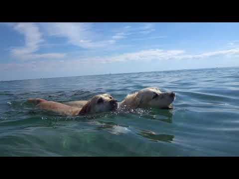 Lab vs Golden: Swimming race