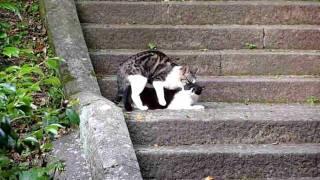 Repeat youtube video 交尾中の猫@潮御崎神社付近(和歌山県 潮岬) Mating Cats in Wakayama, Japan