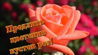 видео Цветение розы с весны до заморозков