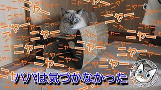 ジャンくんは寂しくて鳴いたけどパパは気づかないよ【Jean & Pont 2196】2020/7/29 保護猫 凶暴から甘えん坊へ