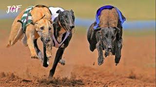 Greyhound Dog Racing  - JerseyGroovyFilms
