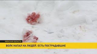 Волк напал на людей в Столбцовском районе: четыре человека пострадали