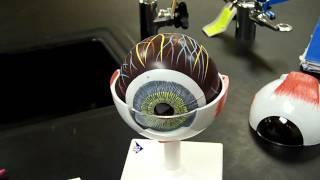 Eye model A&P
