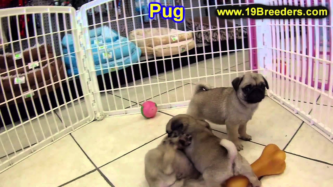 pug puppies for sale in ct pug puppies for sale in hartford connecticut county 3058