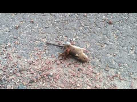 Hornet Extreme Attack On The Mouse