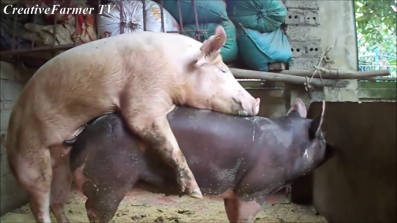 свиней трахал