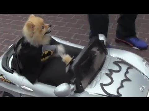 Little Dog Drives a Batman Car at Comic Con 2013