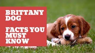 Brittany Dog Brittany Dog Breed Information, Characteristics and Facts
