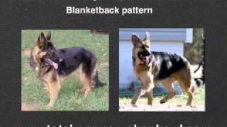 German Shepherd Coat Colors - Gsd Coat Colors And Patterns