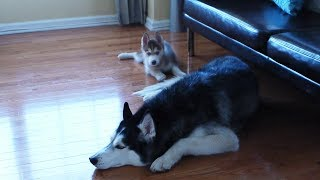 When Laika the Husky was a tiny baby!