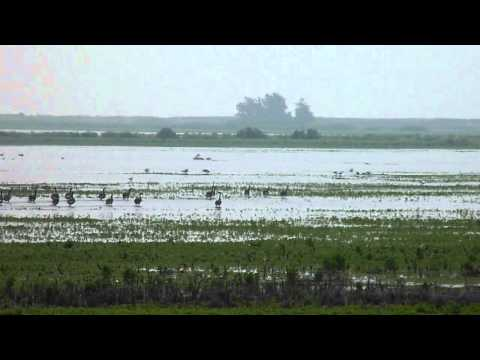 Canadian Geese Running Through The Marsh