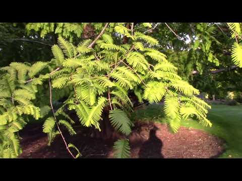 Metasequoia glyptostroboides (Dawn Redwood) Late September 2017