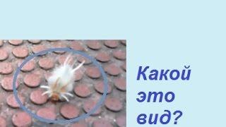 85#. Необычная гусеница. 5 июля 2015 год(На детской площадке наблюдали пушистую гусеницу с мохнатой рыжей головой. Я так и не нашла её названия...., 2015-07-12T00:49:53.000Z)