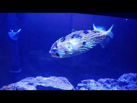 How I Feed My Porcupine Puffer
