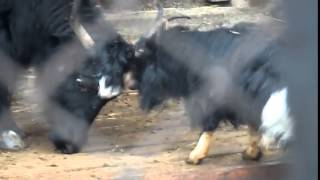 Задиристый козел нападает на яка Бой без правил ПРИКОЛЫ 2015  Goat