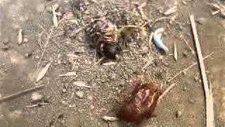 やっと地中から這い出て、羽化した蝉に群がる獰猛な蟻.