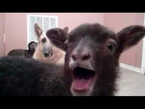 Komik yavru keçi yavru kuzu pek tatlılar