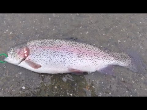 Catching BIG Rainbow Trout at Quarry Lake