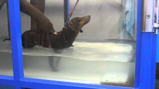 Gait Training To Teach A Paralysed Dog To Walk Again In An Underwater Treadmill