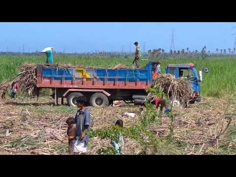 Sugar cane plantations in Northern Cebu /Life In The Philippines