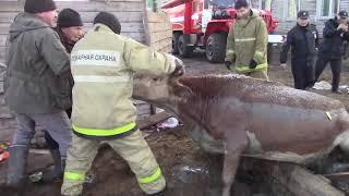Пожарные спасли корову из помойной ямы