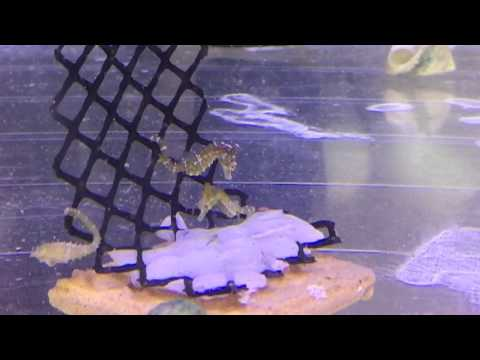Dwarf Seahorses at SaltCritters.com