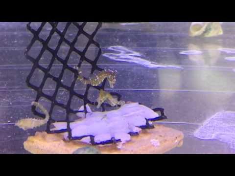 Dwarf Seahorses at SaltCritters.com