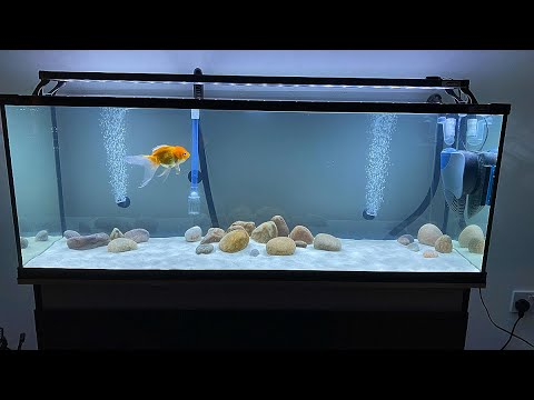 Setting Up A Fancy Goldfish Tank.