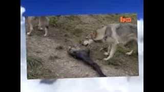 Реальный человек волк