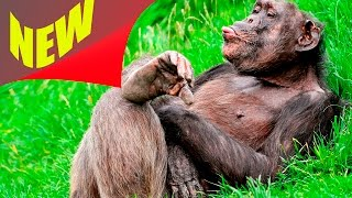 Прикольное видео. Смешное видео 2016. Смешные животные. Смешные обезьяны
