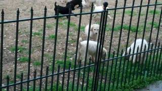 Standard Poodle Puppies At Play