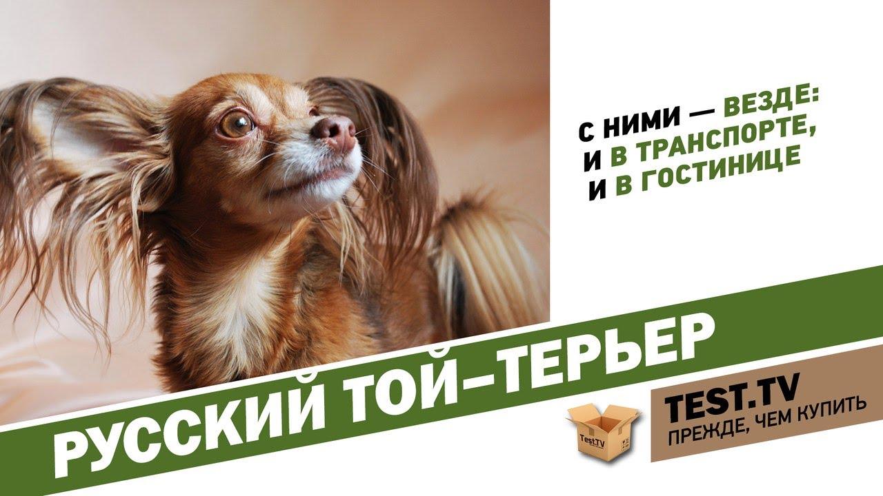 инструкция по выращиванию русского той терьера