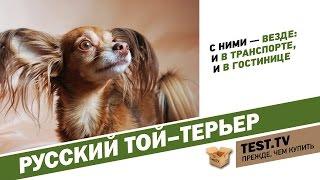 TEST.TV: Русский той-терьер собака загадка.