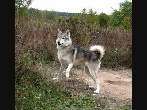 Добро пожаловать на хаски-магазин, ездовые шлейки для собак от лучших производителей!. Так же можно купить ошейник для щенков и взрослых.