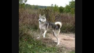 Все породы собак.Волкособ (Wolf Hybrid)