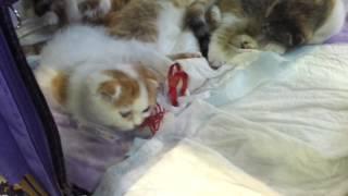 милые пушистые котята скоттиш страйт