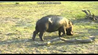 Hipopotam - świat zwierząt Afryki ,, Safari