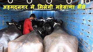 अहमदनगर मे मिलेगी महेसाणा भैंसे I Mahesana buffalo avaialable at Ahemadnagar Maharastra