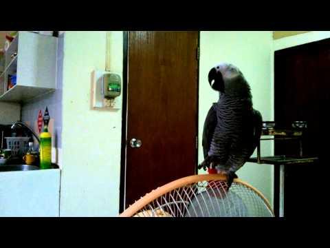 """นกแก้ว จักจั่น """"เอะอะ เอะอะ ก็โป๊"""" : African grey parrot Jakajan"""