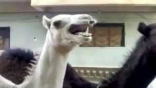 Видео Верблюд