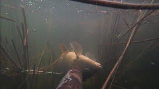 подводная охота в камышах на сазана карпа веселовское водохранилище маныч рыбалка май 2021