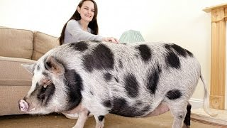 The Truth About Micro Pigs: Full Grown Micro Pigs thumbnail