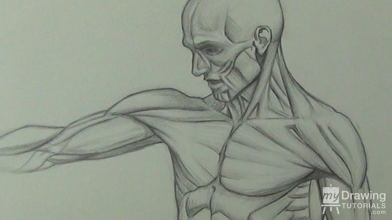 Human Anatomy Figure Drawing - Torso Quick Sketch